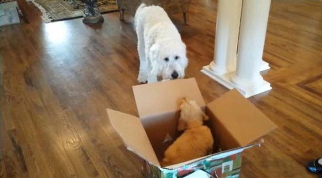 Этому взрослому псу подарили щеночка на день рождения. Теперь есть о ком заботиться…