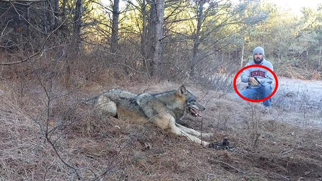 Он столкнулся с волком лицом к лицу, но тот был не в состоянии атаковать…