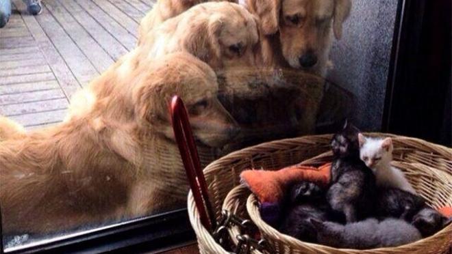 Несколько самых убедительных доводов , что лабрадоры и ретриверы – самые лучшие в мире собаки!