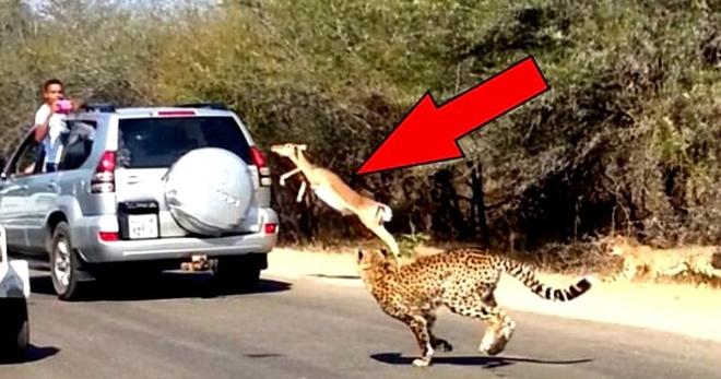 Гепарды напали на газель, и чтобы спастись, она сделала то, чего никто от неё не ожидал…