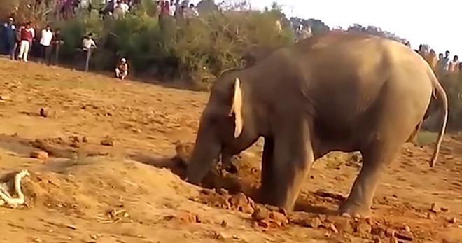 На протяжении 11-ти часов слониха рыла яму в земле. Вы будете шокированы, когда узнаете причину…