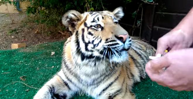 Ветеринар спокойно подошёл и вырвал у тигра больной зуб. Хищник удивил своей реакцией…