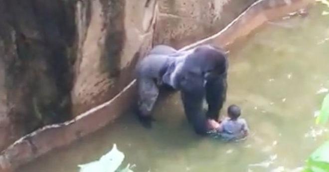 3-летний мальчик упал прямо в вольер с гориллами. Далее произошло то, во что поверить было крайне трудно…