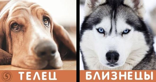 По знаку зодиака вы можете узнать, с какой породы собакой вы схожи больше всего…